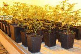 Detenida una pareja en Llucmajor por tráfico y producción de marihuana