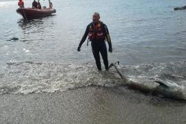 Aparece un delfín muerto en una cala de Magaluf