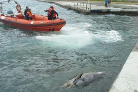 Delfín muerto en Magaluf