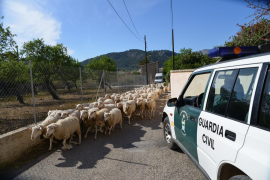La Guardia Civil ordena el desalojo de un polémico rebaño de ovejas de Andratx