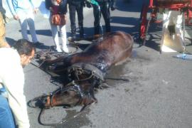 Un caballo se desploma por un golpe de calor frente a la Seu