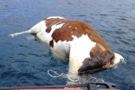 La vaca muerta localizada en Cala Mondragó puede proceder de Menorca