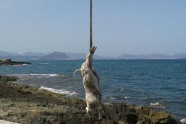 Aparece en Can Picafort otra vaca flotando en el mar
