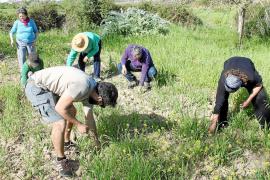 Una finca de Algaida recupera cereales que se sembraban en Mallorca hace 50 años