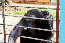Chimpancé en el Safari Zoo de sa Coma