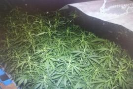 Requisadas 170 plantas de marihuana en una redada en Porreres