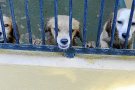 Son Reus ya tiene la custodia de los 52 perros intervenidos en un ático