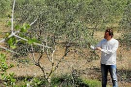 Futuro prometedor para el aceite hecho en Menorca