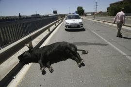 Un toro se escapa hiriendo a 11 personas antes de morir atropellado