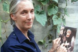 50 años con los chimpancés