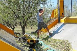 Estiman que la producción de almendra crecerá un 10 por ciento esta campaña