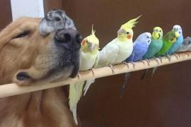 Bob, el perro que cohabita con ocho pájaros y un hámster, conquista la red