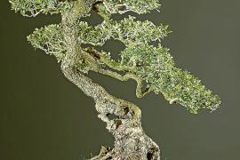 Arrancan 'ullastres' de la Serra de Tramuntana para venderlos como bonsáis en la Península