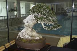 Los aficionados al bonsái dicen que «sólo 4 o 5 personas» arrancan 'ullastres' en la Serra