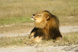 Zimbabue aplicará restricciones a la caza de leones, leopardos y elefantes