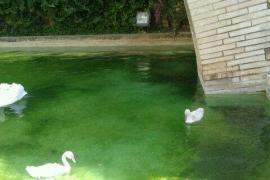 Cort limpia el estanque de cisnes de s'Hort del Rei