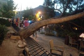 Cae un pino