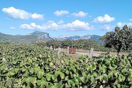 Las bodegas de la DO Binissalem inician la vendimía con una previsión «buena» de la uva