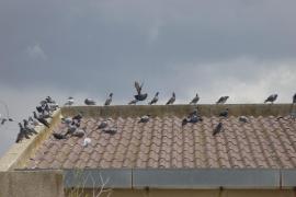 Montuïri activa una plan de choque contra la plaga de palomas que acecha a sus vecinos