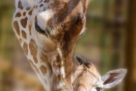 Tras 10 años nace una nueva cría de jirafa en el Safari Madrid
