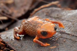 Descubren en Brasil una nueva especie de sapo que mide sólo un centímetro
