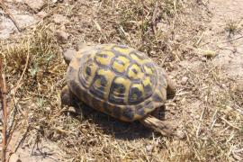 Al menos un centenar de tortugas han muerto en los incendios de Son Doblons