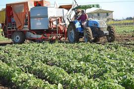 El Ajuntament de sa Pobla, el Govern y los portales aúnan esfuerzos para impulsar la patata