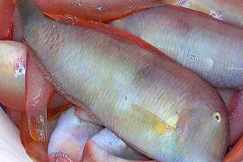 Abierta la veda  de la pesca del 'raor'
