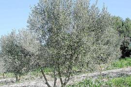 Condenado por matar olivos