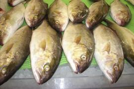 Arranca la temporada de la pesca del 'verderol' en Mallorca