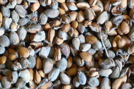 La cosecha de la almendra bate récords en producción y en precio
