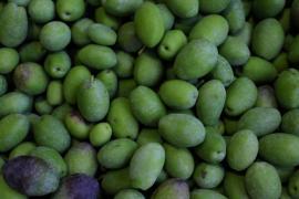 Cosecha de oliva