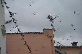 Invasión de golondrinas en Andratx
