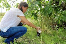 El Ajuntament d'Inca estudia la población del mosquito tigre para erradicarlo