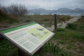 Las «picaplatges camanegres» vuelen a criar en las playas de s'Albufereta