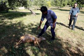 Tres perros matan a 14 ovejas y dejan heridas a 26 en una finca de Santa Maria