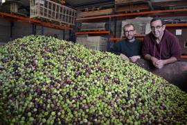 Los vecinos de Son Servera reúnen unos 11.000 kilos de aceitunas, que el Ajuntament transformará en aceite