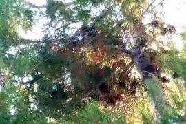Medi Ambient elimina el primer nido de avispa carnicera asiática en Mallorca