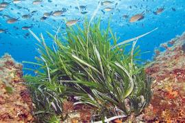 Los pescadores exigen la prohibición de la pesca submarina en la reserva de Llevant