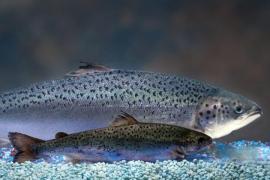 EE.UU. permitirá consumir salmón modificado genéticamente