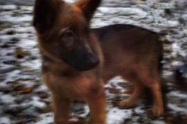 Rusia regala a Francia un cachorro para sustituir a Diesel en la lucha contra el terrorismo