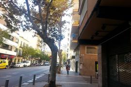 El Ajuntament repondrá 650 árboles en las calles de Palma en un año