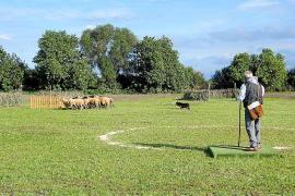 'Carmús' se adjudica el concurso de pastoreo de Son Mesquida