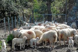 El Govern alega que no controla el precio del cordero e insta a los productores a organizarse
