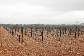 El fin de los derechos de plantación de viñedo pone  a los productores «a la expectativa»
