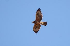 Liberadas en Mallorca 30 águilas perdiceras desde 2011