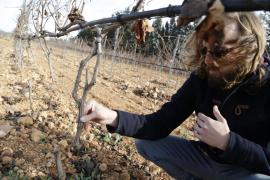 Destrozan más de 1.200 cepas de los viñedos José Luis Ferrer de Binissalem