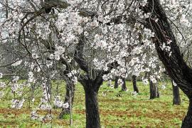 Los almendros en flor atraerán a la Isla a  50.000 alemanes en un mes