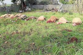 Dos perros provocan una matanza de ovejas en una finca de Pollença