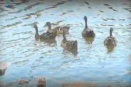Los enmascarados anuncian una «buena nueva» en la suelta de patos